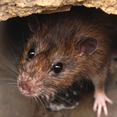 keeping mice out of home