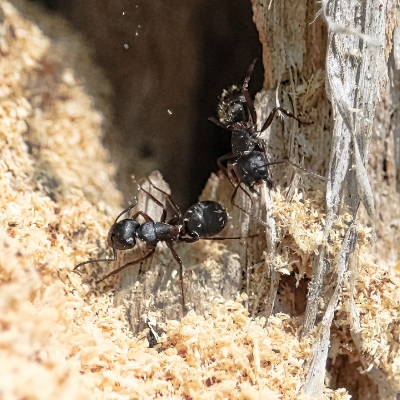 Prevent carpenter ants with expert treatments from Pest Control Limited in Andover MA