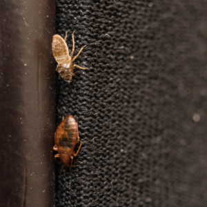Bed bug casings are just one early sign of a bed bug infestation here in Tewksbury, MA, making bed bug pest control a must.