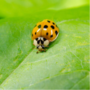 The asian lady beetle will try to get into your Lowell, MA home this fall as the temperatures drop.