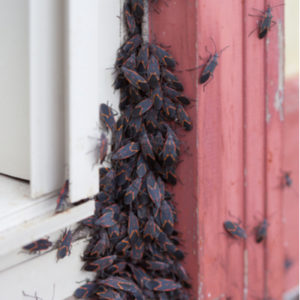 Fall pest control will help keep box elder bugs, like these, from getting into your Tewksbury, MA home this fall.