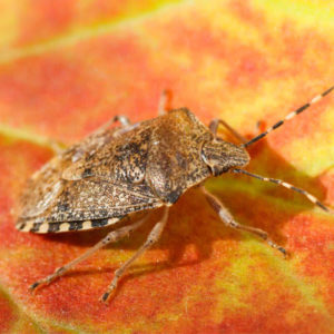 Fall pest control will help you prevent brown marmorated stink bugs from getting into your Tewksbury, MA home this fall.