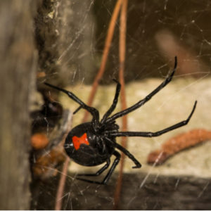 Black widow spiders may be the worst house pests in the entire country, let alone Massachusetts.