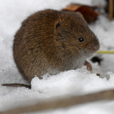 Preventing winter rodent infestations in your Massachusetts lawn can help you avoid vole damage throughout the winter.