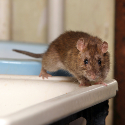 If you don't want to find rats on your sink, then preventing winter rodent infestations is essential for you.