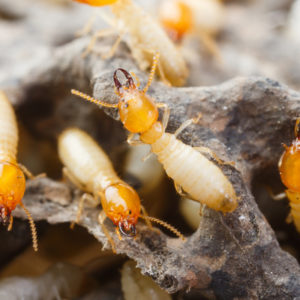 Protect your home from termites, some of the worst house pests in Massachusetts.