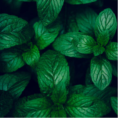 Mint is one of the best pest-repelling plants here in Massachusetts.